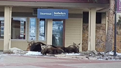 SSIR moose Moose!